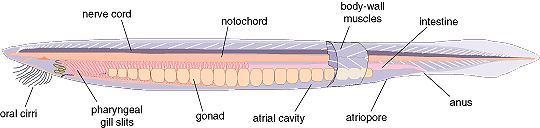 http://biology.fullerton.edu/biol261/im/lancelet.jpeg