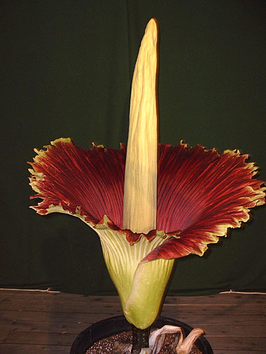 http://biology.fullerton.edu/facilities/greenhouse/amorphophallus/images2003/23May2003/TitanArum2c.jpg